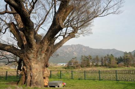 영암 월곡리 느티나무