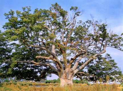 영암군서면의느티나무