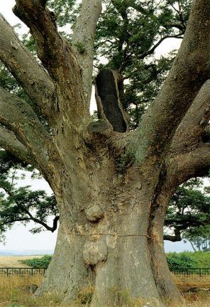 영암군서면의느티나무줄기