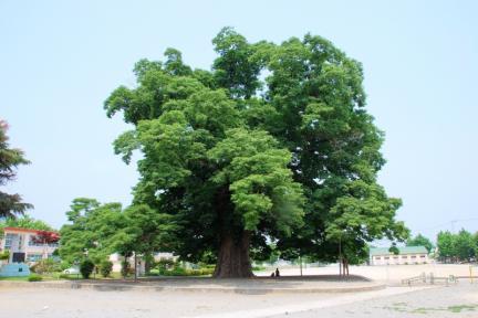 담양 대치리 느티나무