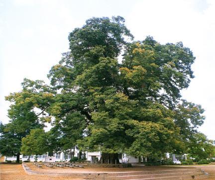 담양대전면의느티나무