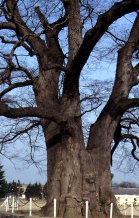 담양대전면의느티나무줄기