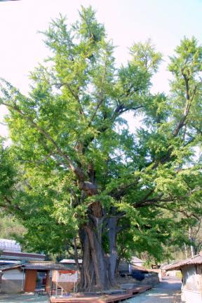 화순 야사리 은행나무