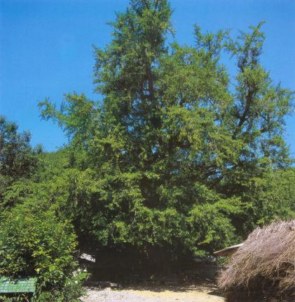 화순이서면의은행나무