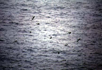 칠발도해조류(바다제비,슴새,칼새)번식지