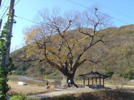 장성단전리의 느티나무