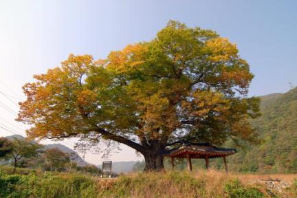 장성 단전리 느티나무