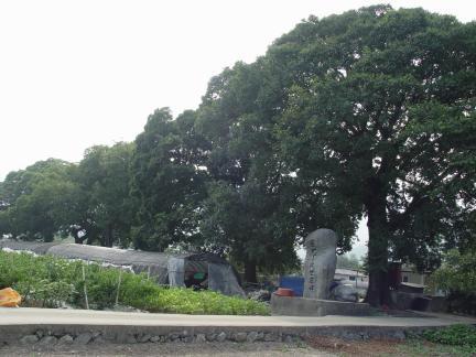 보성전일리의 팽나무숲