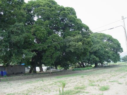 보성전일리의팽나무숲