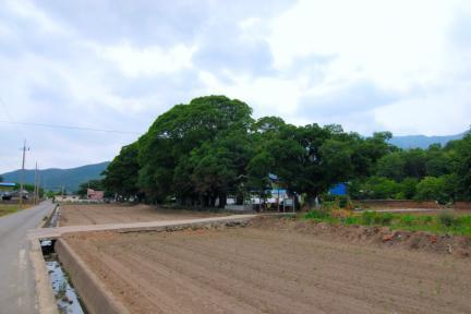 보성 전일리 팽나무 숲