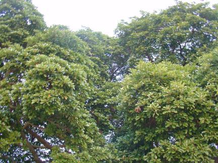 장흥삼산리의 후박나무