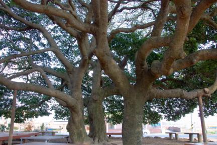 장흥 삼산리 후박나무