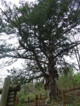화순개천산 비자나무숲