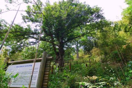 화순 개천사 비자나무 숲