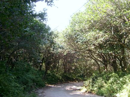 동백나무 숲 길