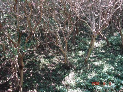 동백나무 순림