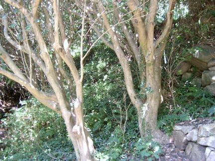 동백나무 모습
