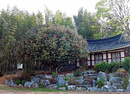 나주 송죽리 금사정 동백나무