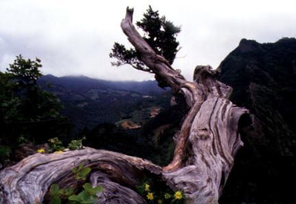 대풍감의향나무