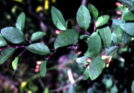 섬개야광나무