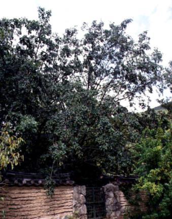 독락당의중국주엽나무
