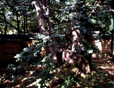 중국주엽나무근부(根部)