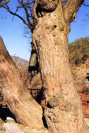 송사동의소태나무줄기