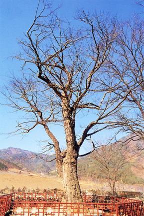 송사동의소태나무