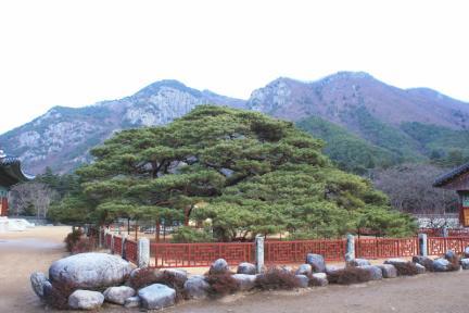 청도 운문사 처진소나무