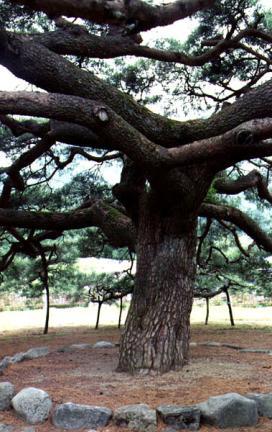 운문사의처진소나무