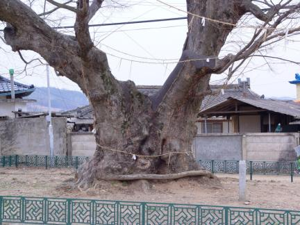 청송 신기리 느티나무
