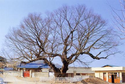 청송신기동의느티나무