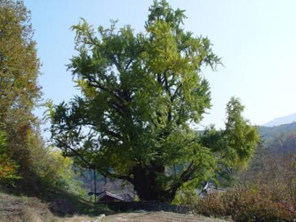 금릉 조룡리 은행나무