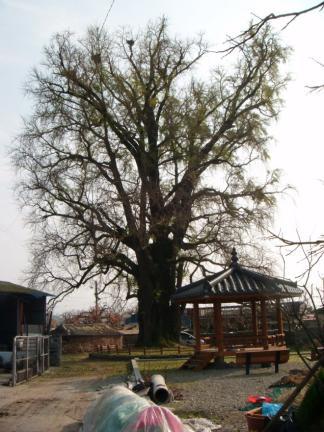 청도 대전리 은행나무