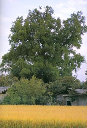 청도이서면의은행나무
