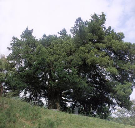 울진화성리의향나무
