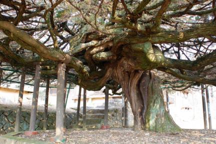 안동 주하리 뚝향나무