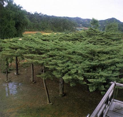 안동와룡면의뚝향나무