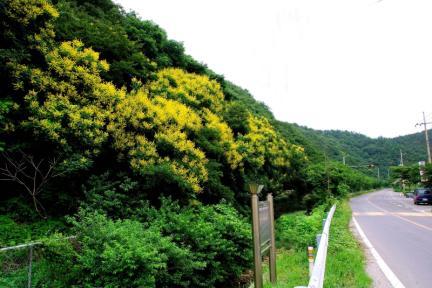 포항 발산리 모감주나무와 병아리꽃나무군락