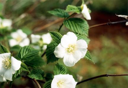 발산리의병아리꽃나무