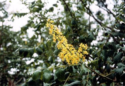 발산리의모감주나무