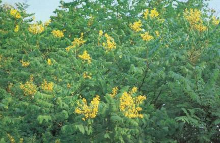 발산리의모감주나무,병아리꽃나무군락지