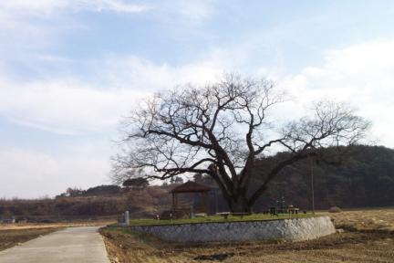 예천 금남리 황목근(팽나무)