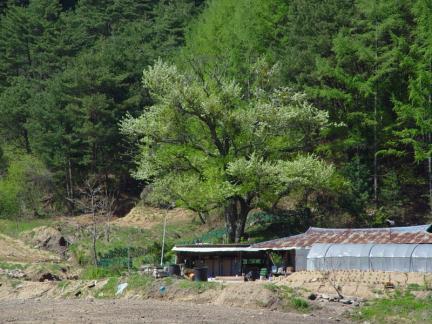울진 쌍전리 산돌배나무