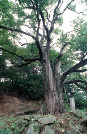 울진쌍전리의산돌배나무