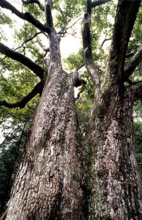 울진쌍전리의산돌배나무줄기