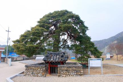 울진 행곡리 처진소나무