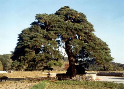 울진행곡리의처진소나무전경
