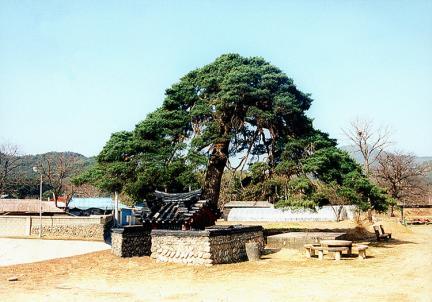 울진행곡리의처진소나무