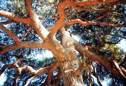 처진소나무줄기끝의가지모습